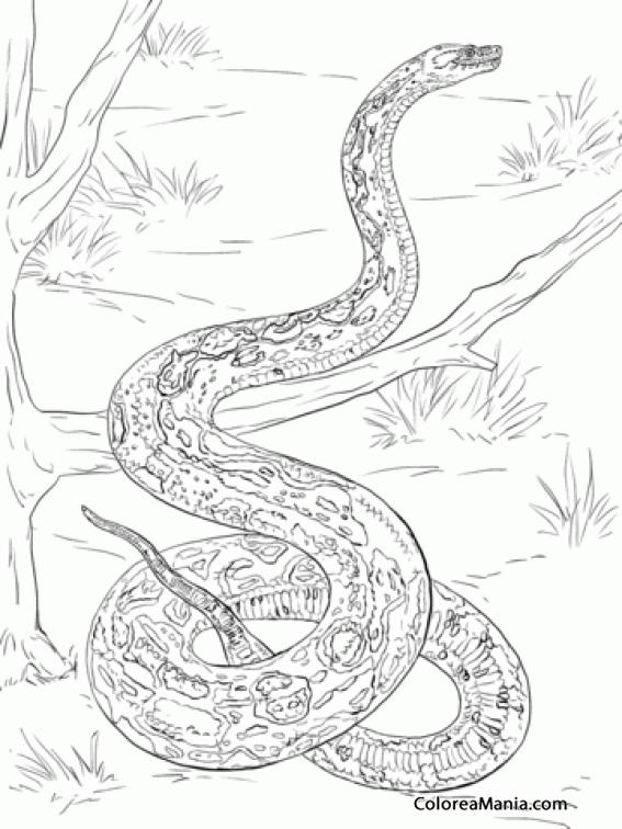 Colorear Serpiente Boa Constrictor En El 225 Rbol Reptiles