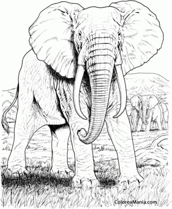 Colorear Elefantes Africanos, dibujo realista (Animales de la Sabana ...
