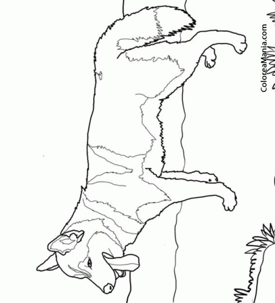 Colorear Perro Husky Siberiano sacando la lengua (Animales ...