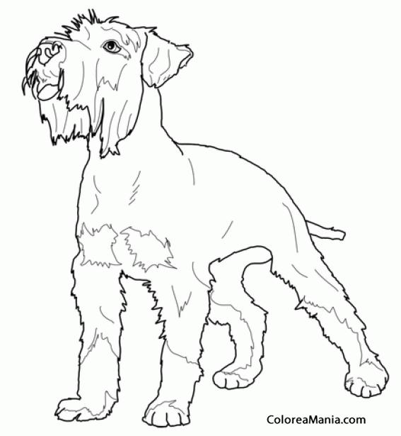 Colorear Perro Schnauzer Miniatura 3 Animales Domésticos Dibujo