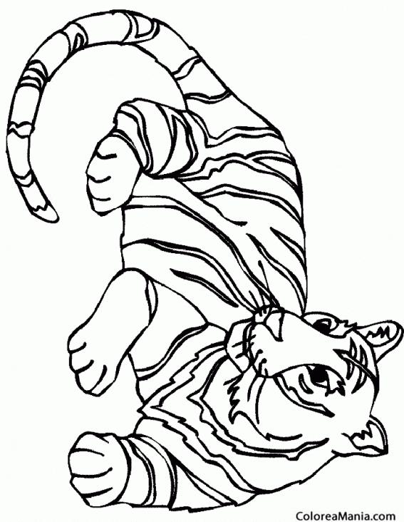 Colorear Tigre Blanco Animales De La Selva Dibujo Para