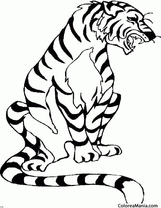 Colorear Tigre Rugiendo Animales De La Selva Dibujo Para Colorear