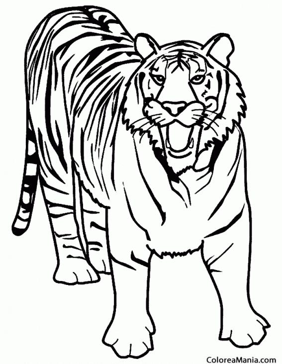Colorear Tigre Furioso Animales De La Selva Dibujo Para Colorear