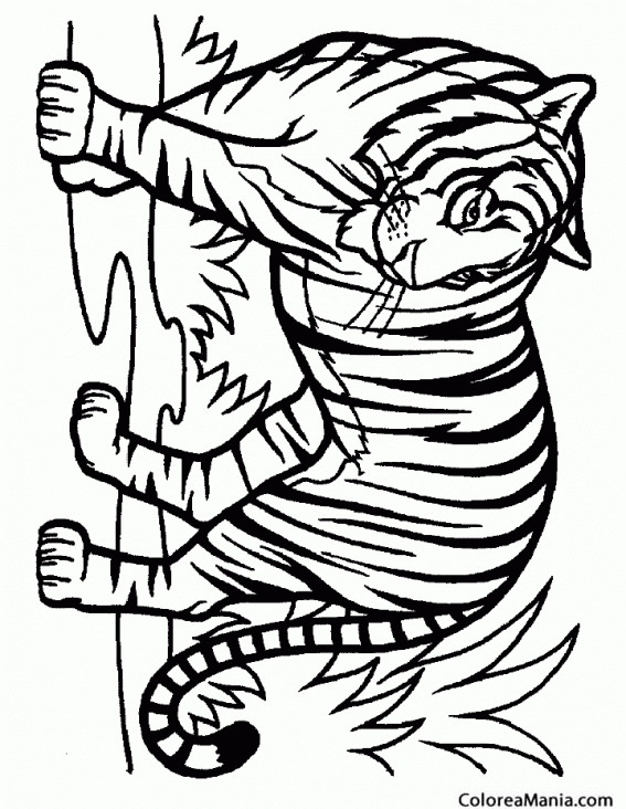 Colorear Tigre Salvaje Animales De La Selva Dibujo Para