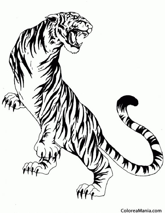 Colorear Tigre Furioso 2 Animales De La Selva Dibujo Para