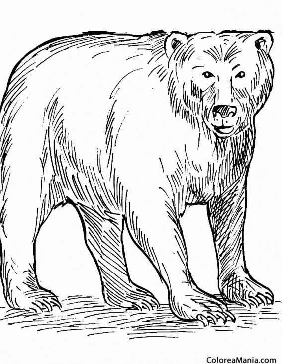 Colorear Oso Negro (Animales de la Selva), dibujo para colorear gratis