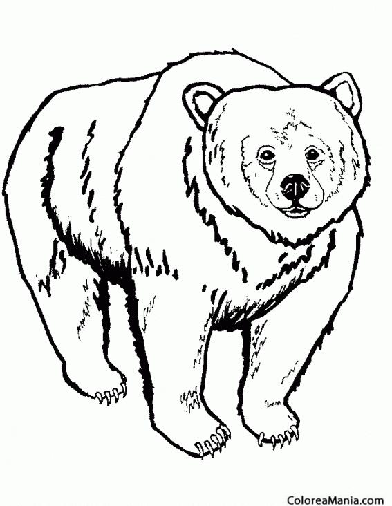 Colorear Oso Kodiak 2 Animales De La Selva Dibujo Para Colorear