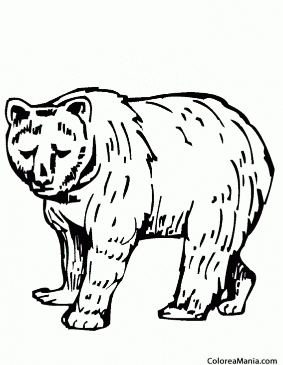 Colorear Oso Pardo Americano Animales De La Selva Dibujo Para