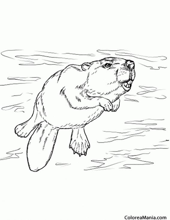 Colorear Castor nadando (Animales del Bosque), dibujo para colorear ...