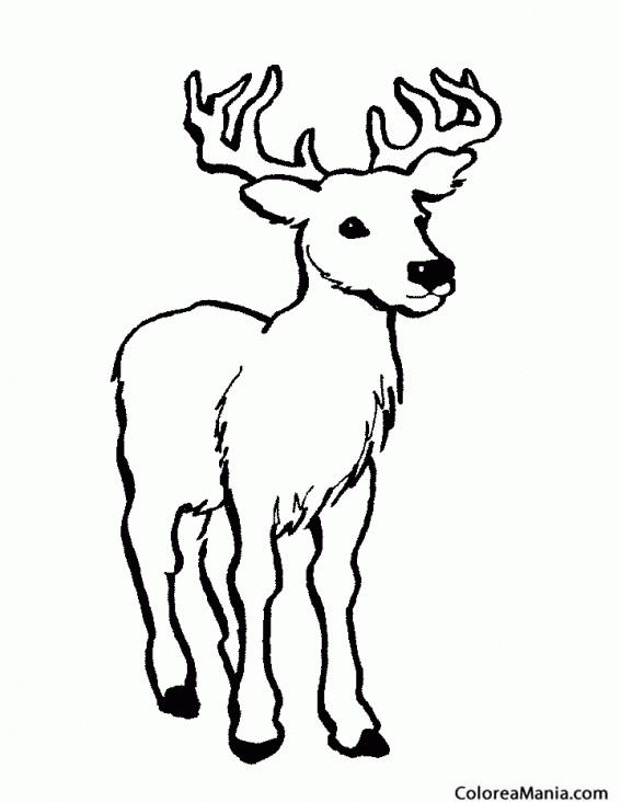 Colorear Ciervo Venado De Agua Animales Del Bosque Dibujo Para