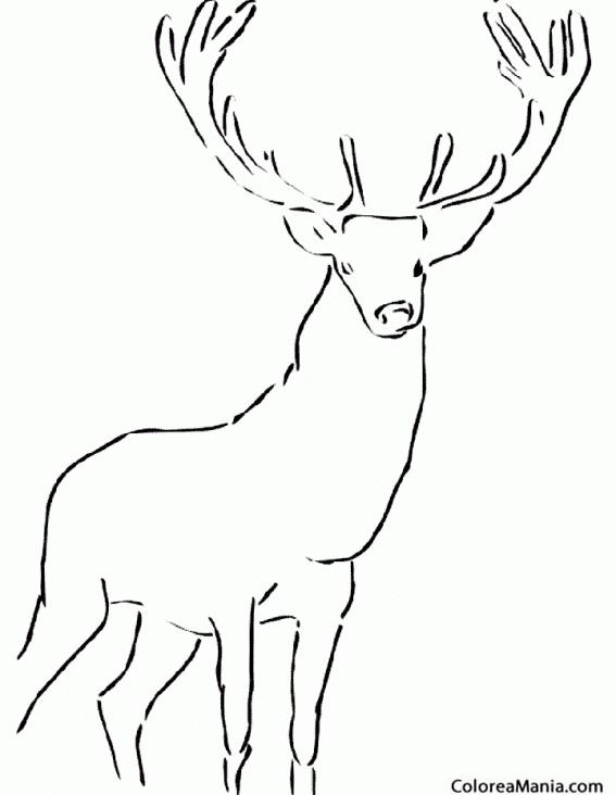 Colorear Ciervo Real Animales Del Bosque Dibujo Para