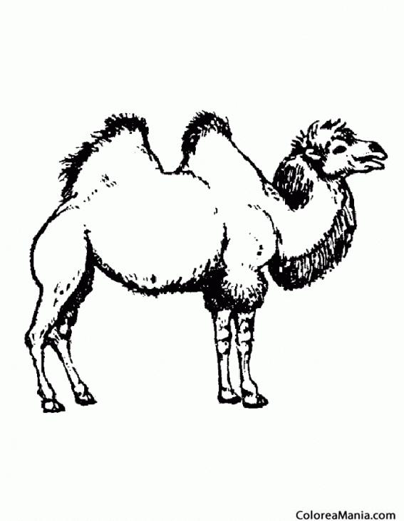 Colorear Camello del desierto (Animales del Desierto), dibujo para ...
