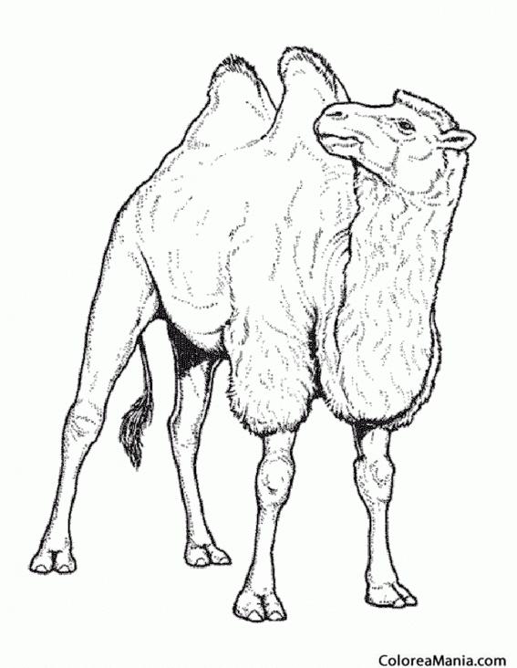 Colorear Camello con buena planta (Animales del Desierto), dibujo ...