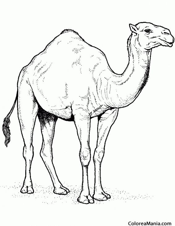 Colorear Dromedario, dibujo lápiz (Animales del Desierto), dibujo ...