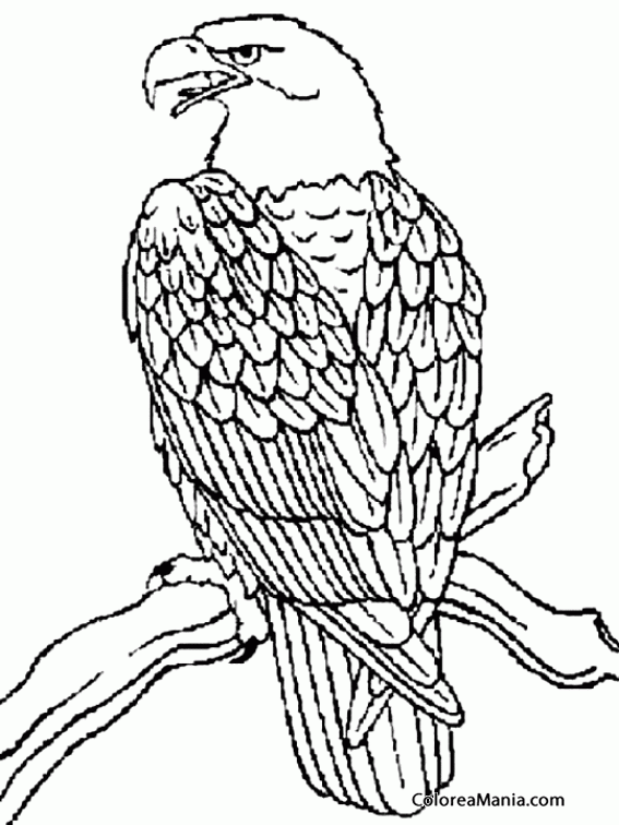 Image Of Aguila Bebe Para Colorear Resultado de imagen para aguilas ...