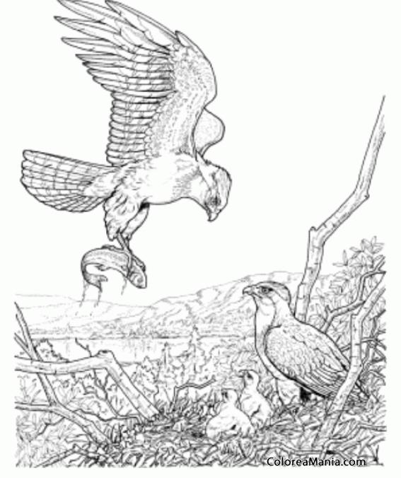 Colorear águila De Regreso Al Nido Aves Dibujo Para