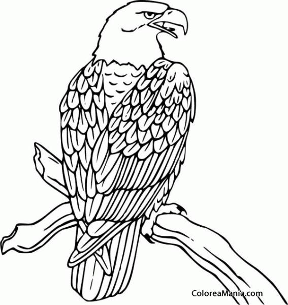 Colorear águila Posada En Rama Aves Dibujo Para Colorear