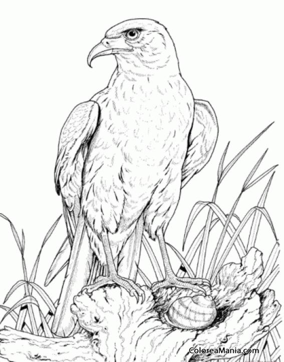 Colorear águila Dorada Comiendo Aves Dibujo Para Colorear Gratis