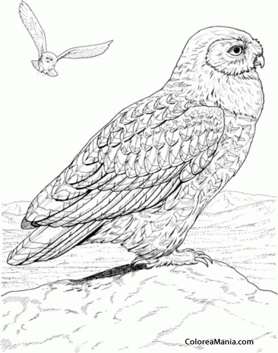 Colorear Búho Corazón Aves Dibujo Para Colorear Gratis