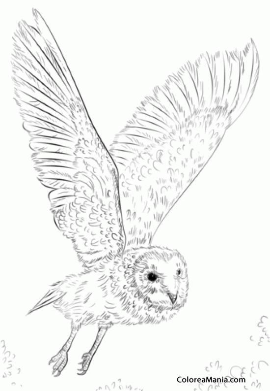 Colorear Bho volando dibujo a lpiz Aves dibujo para colorear