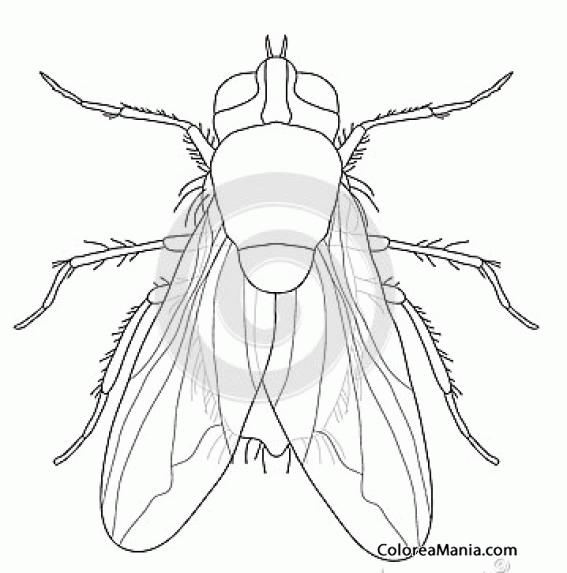 Colorear Mosca alas transparentes Insectos dibujo para colorear
