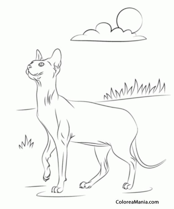 Colorear Gato Esfinge andando (Animales Domésticos), dibujo para ...