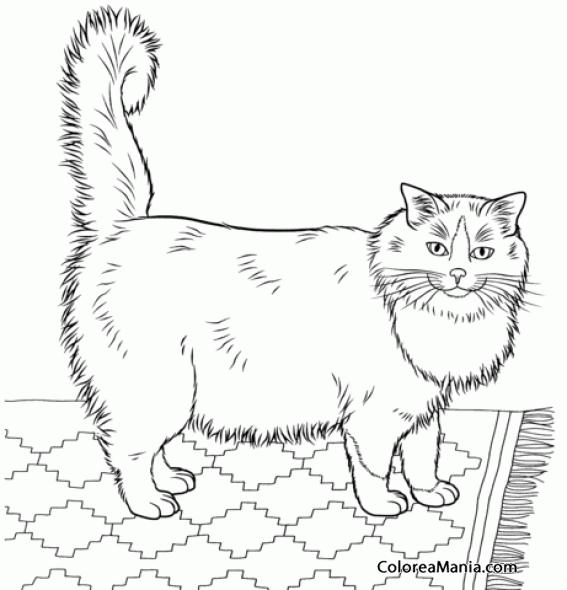 Colorear Gato Ragdoll En Pequeña Alfombra Animales Domésticos