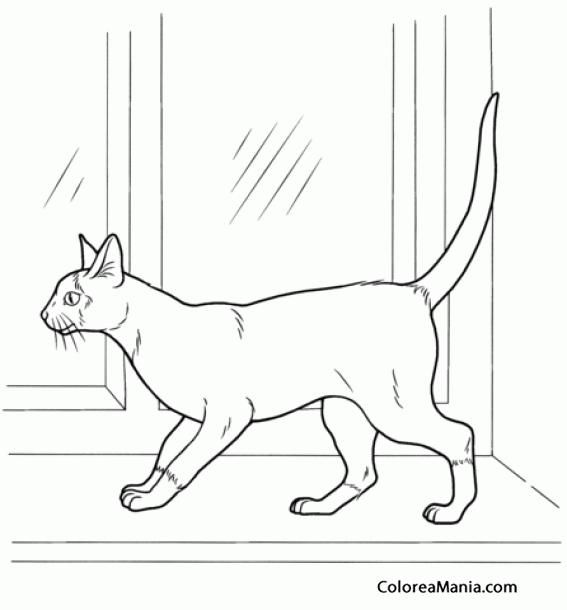 Colorear Gato Siamés Frente A La Ventana Animales Domésticos