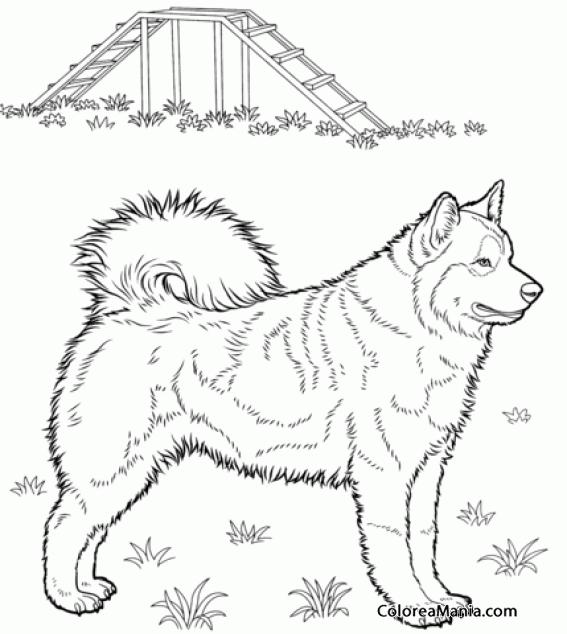Colorear Perro Husky posado de pie (Animales Domésticos), dibujo ...