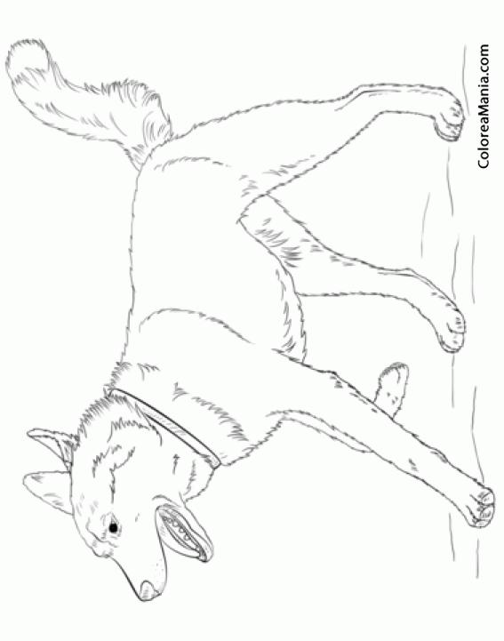 Colorear Perro Husky Siberiano Ladrando Animales Domésticos