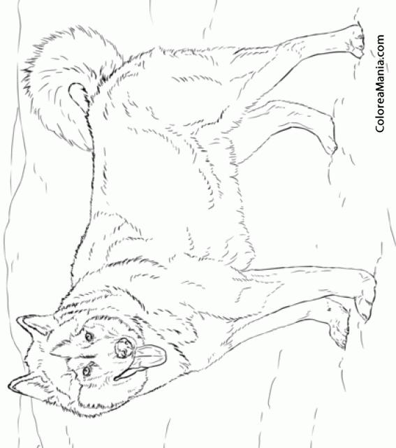 Colorear Perro Husky Alaska (Animales Domésticos), dibujo para ...