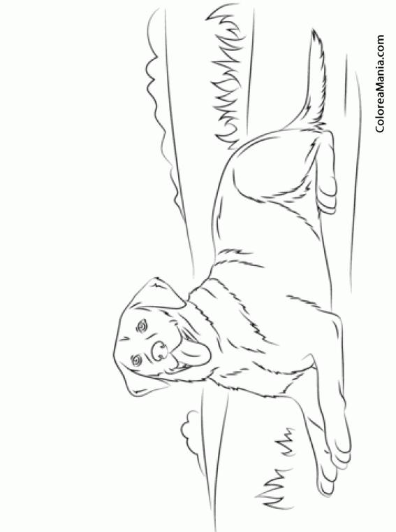 Colorear Perro Labrador Retriever Tumbado Animales Domsticos