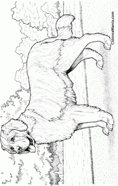 Colorear Perro San Bernardo (Animales Domésticos), dibujo para ...