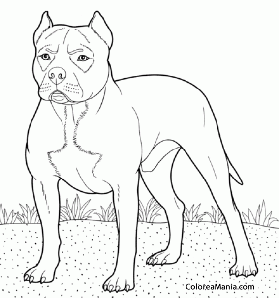 Colorear Perro American Pit Bull Terrier Animales
