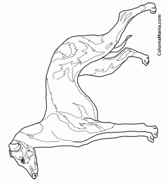 Colorear Perro Galgo Italiano 2 Animales Domésticos Dibujo Para