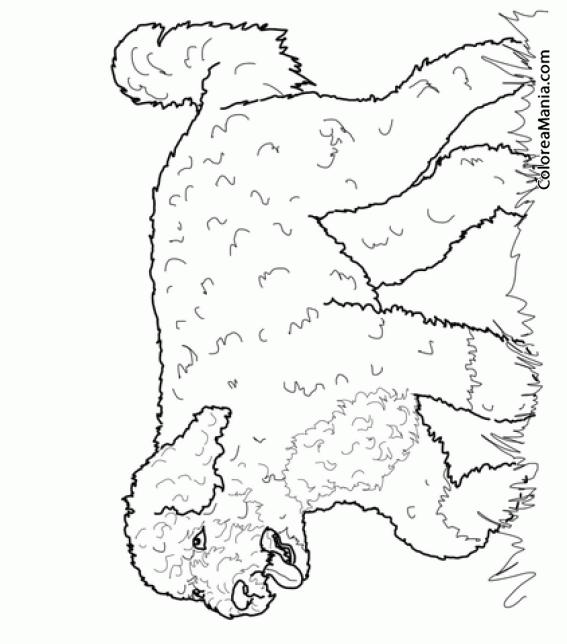 Dibujo Para Colorear Perro De Agua Dibujo De Perro De Agua Portugués