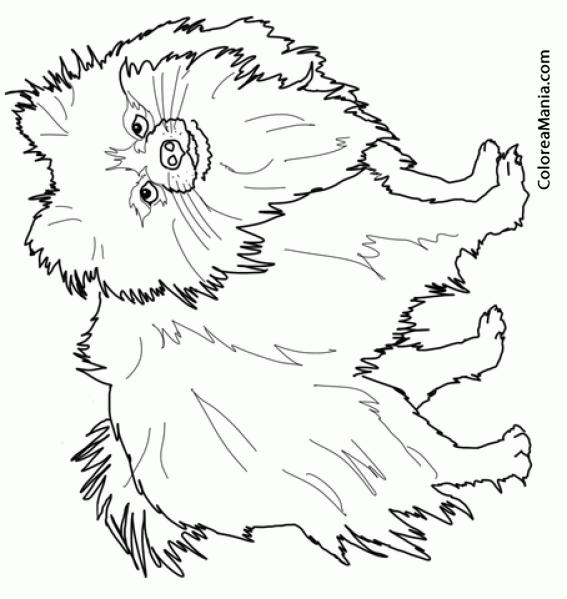 Colorear Perro Lulú de Pomerania (Animales Domésticos), dibujo para ...