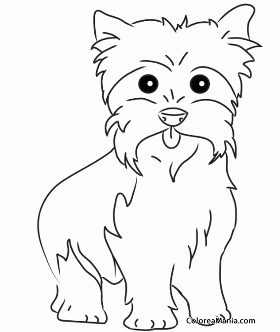 Colorear Perro Yorkshire Terrier o Yorkie 4 Animales Domsticos