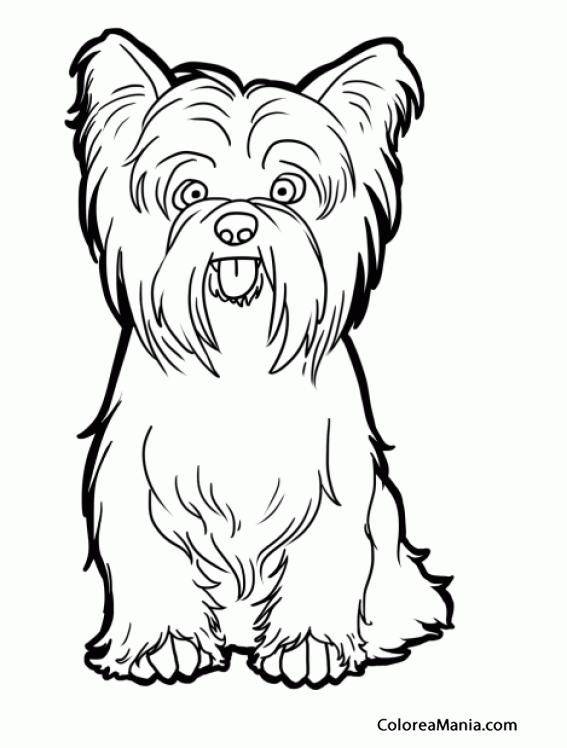 Colorear Perro Yorkshire Terrier o Yorkie sentado (Animales ...