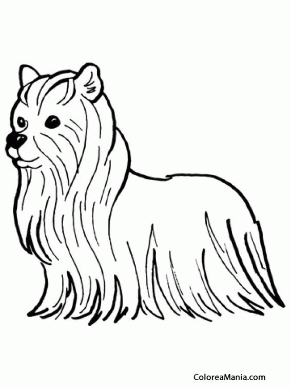 Colorear Perro Yorkshire Terrier Animales Domésticos Dibujo Para