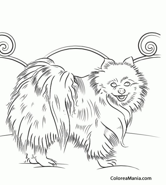 Colorear Perro Lulú de Pomerania 2 (Animales Domésticos), dibujo ...
