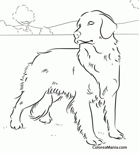 Colorear Perro Golden Retriever en el campo 2 (Animales Domésticos ...