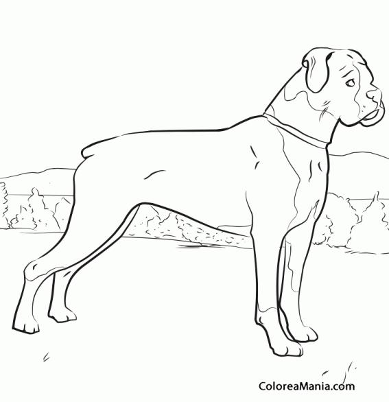 Colorear Perro Boxer Animales Domésticos Dibujo Para