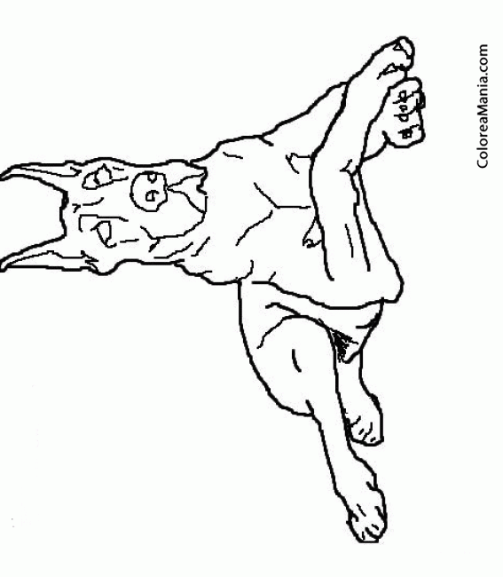 Colorear Perro Gran Dans tumbado Animales Domsticos dibujo
