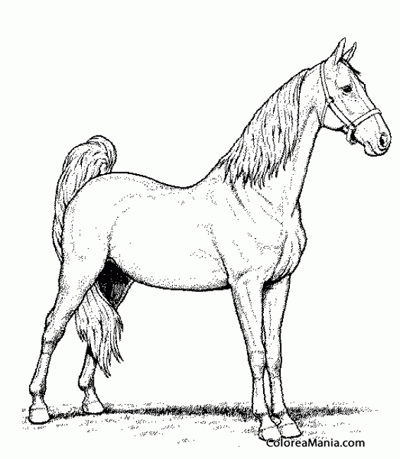 Colorear Caballo pura sangre árabe 2 (Animales Domésticos), dibujo ...
