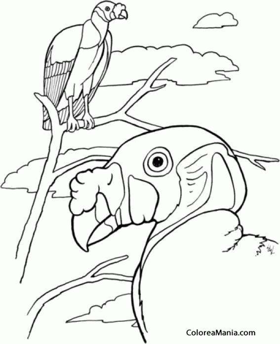Colorear Zopilote Rey O Cóndor De La Selva Aves Dibujo Para