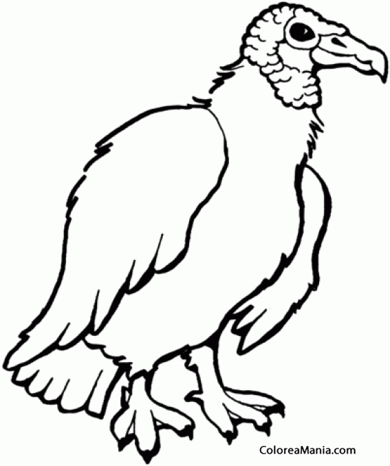 Colorear zopilote negro, buitre negro americano (Aves ...