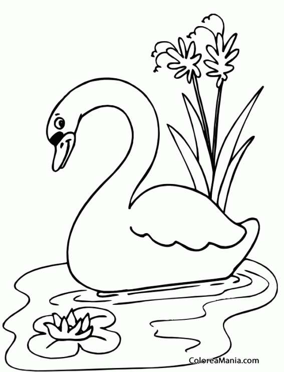 Colorear Cisne Entre Lirios Aves Dibujo Para Colorear Gratis