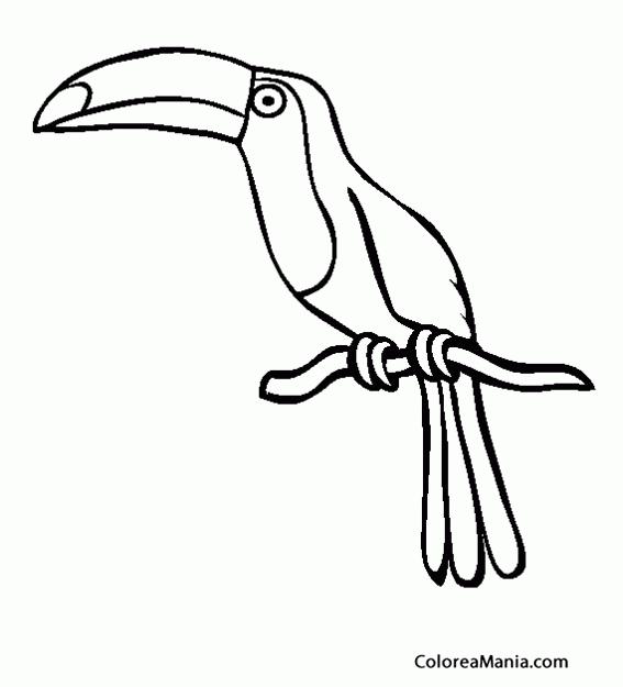Colorear Tucán Posado En Rama Aves Dibujo Para Colorear