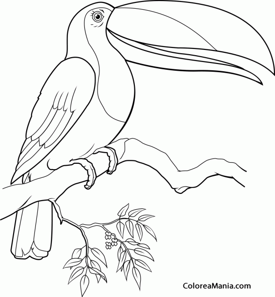 Colorear Tucán De Enorme Pico Aves Dibujo Para Colorear